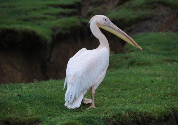 Полетя пеликанът, който бе прострелян от бракониери (Фото и видео репортажи)
