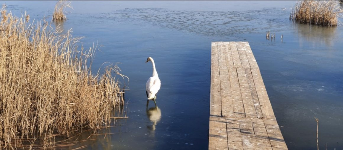 "We released a mute swan on the territory of Ecopark for biodiversity and alternative tourism ""Vaya"""