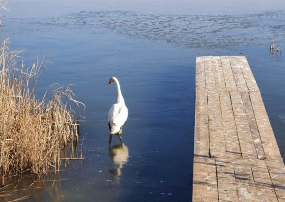 """Освободихме ням лебед на територията на Екопарк за биоразнообразие и алтернативен туризъм """"Вая"""""""